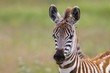 Young baby zebra in the Ngorongoro Crater National Park in Tanzania