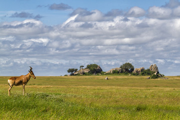Hartebeest in the green landscape of the Serengeti National Park in Tanzania with a granite