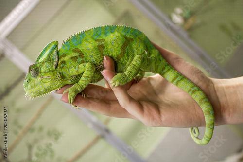 Fotobehang Kameleon Chameleon Furcifer pardalis Ambolobe 2 years old, Madagascar endemic Panther chameleon in angry state, pure Ambilobe