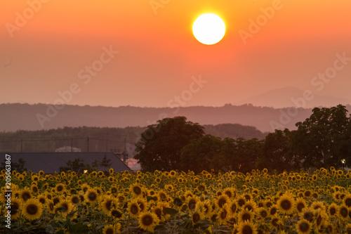 Aluminium Oranje eclat 夕暮れの向日葵