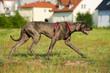 Deutsche Dogge am Stadtrand