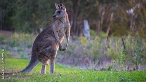 Aluminium Kangoeroe Grey Kangaroo Feeding