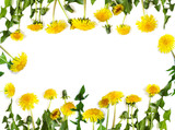 Dandelions isolated on white background