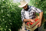 Male farmer picking fresh tomatoes from his hothouse garden - 205080212