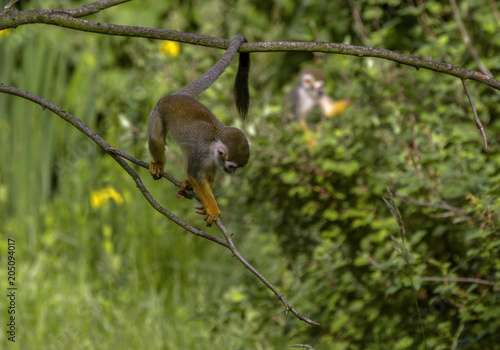 Plexiglas Aap Common Squirrel Monkey (Saimiri sciureus), on a tree branch. Lifestyle - day, mostly spend time in the trees.