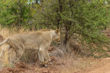 Lioness walking out of the bush onto a dirt road