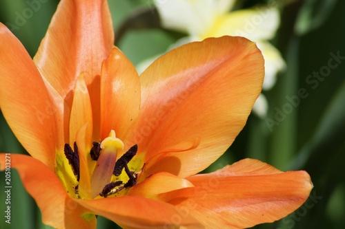 Piękny pomarańczowy tulipan z zielonymi liśćmi