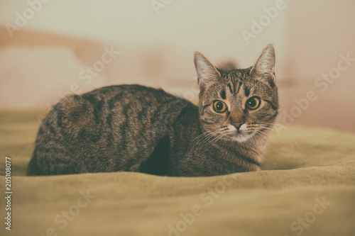 Fototapeta Photo of beautiful young cat lying on the bed.