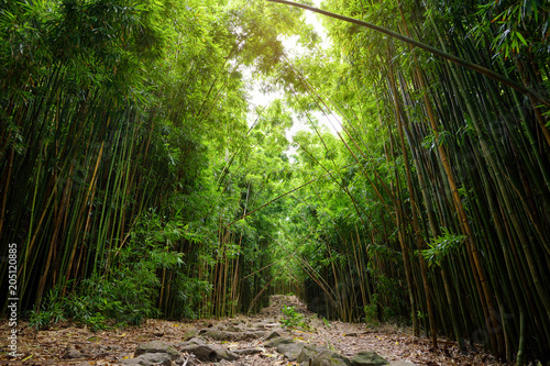 Aluminium Bamboe Path through dense bamboo forest, leading to famous Waimoku Falls. Popular Pipiwai trail in Haleakala National Park on Maui, Hawaii