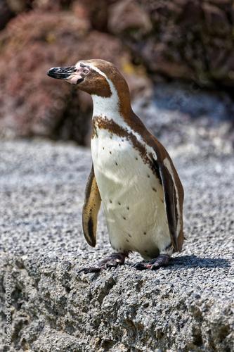 Plexiglas Pinguin Manchot de Humboldt
