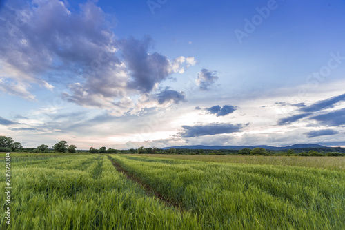 Plexiglas Lente Wheat field hay green sunset summer blue sky food farm organic vegan Croatia agriculture countryside