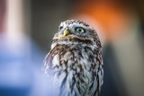 Little Owl sitting and looking around with negative space and bokeh - 205132065