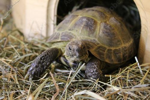 Aluminium Schildpad Russische Vierzehen-Schildkröte im Terrarium