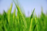 green wheat field - 205140245