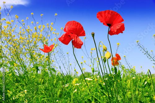 Plexiglas Klaprozen Summer wildflowers and sky