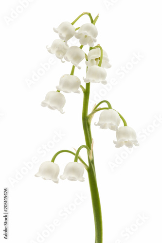 Fotobehang Lelietjes van dalen White flower of lily of the valley, lat. Convallaria majalis, isolated on white