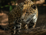 leopard is patiently watching