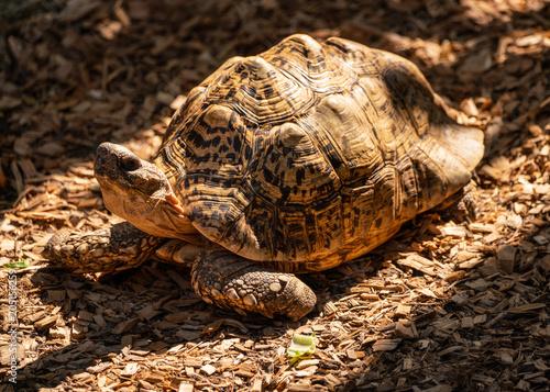 Aluminium Schildpad tortoise in the sunset