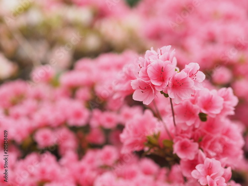 Plexiglas Azalea 満開に咲くピンク色のツツジ