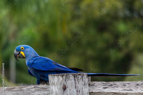 Aluminium Papegaai Beautiful Great Blue Macaw at Pantanal Sul, Mato Grosso do Sul, Brazil