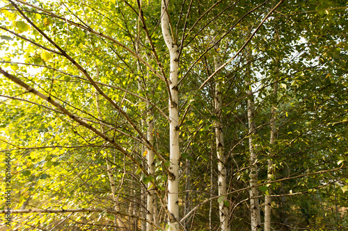 Fototapeta Birches in the open air in the forest