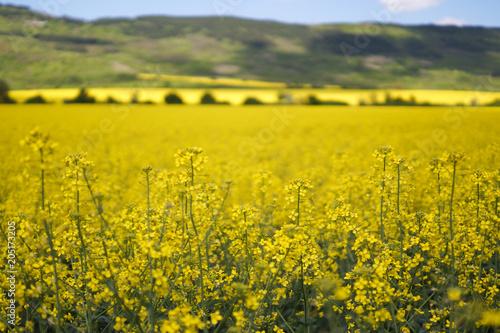 Plexiglas Honing Beautiful yellow fields and a blue sky