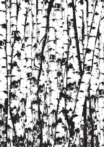 Fototapeta Realistic vector black and white illustration of birch tees trunks. Black and white birch trees forest.