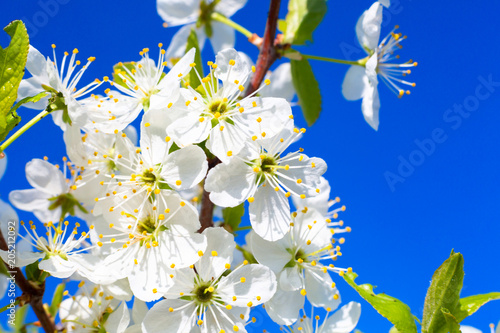 Plexiglas Kersen Beautiful cherry blossoms in spring over clear blue sky