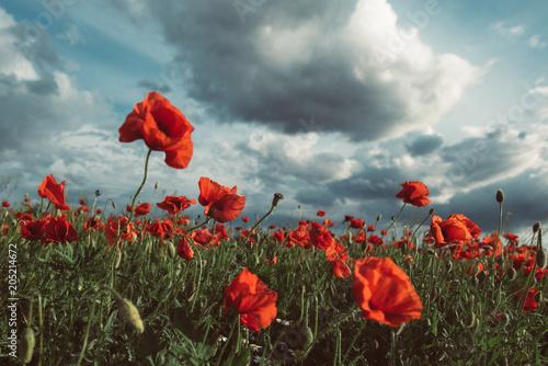 Plexiglas Klaprozen Poppies under the blue sky with clouds