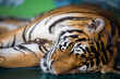 Tiger sleep