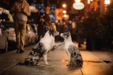 two dogs together in the city. love and friendship border collie