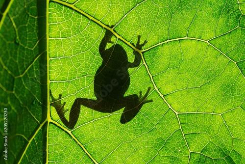 Plexiglas Kikker European green tree frog (Hyla arborea) on leaf in silhouette light