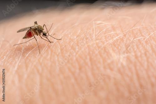 Mücke sticht in die Haut und saugt Blut - 205221676