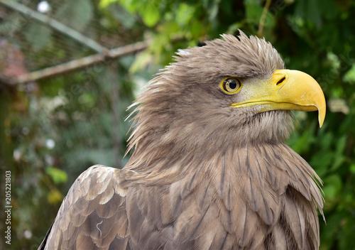 Canvas Eagle eagle closeup