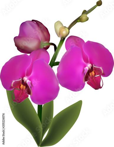 Fototapeta isolated purple orchid with three large flowers