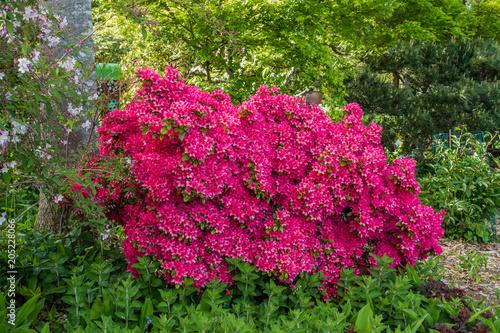 Plexiglas Azalea Pink Azalea Bush 2