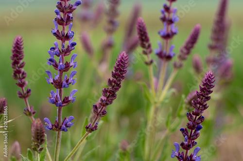 Aluminium Lavendel Purple flowera