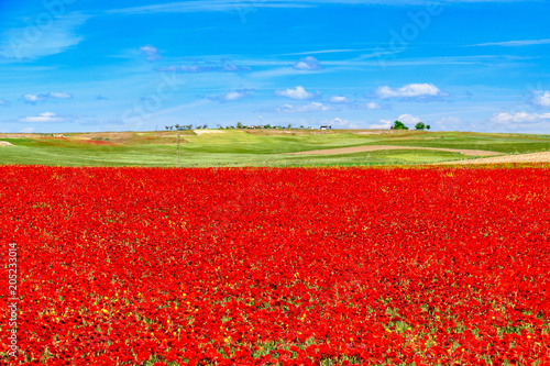 Fotobehang Rood traf. field of red poppies