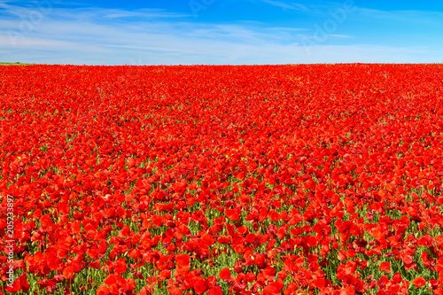 Fotobehang Rood field of red poppies
