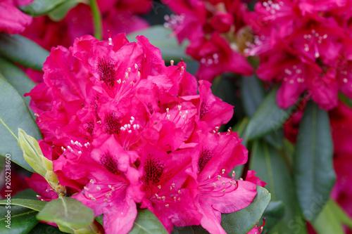 Fotobehang Azalea Red Azaleas flowers .
