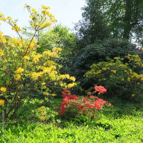 Aluminium Azalea composition of yellow, pink azaleas and small blue forget-me-not flowers