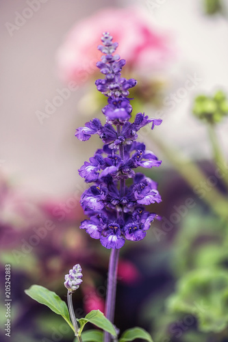 Aluminium Lavendel Purple Flowers in Garden macro details