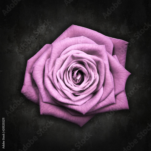 Różowa róża na czarnym tle - Pink rose na czarnym tle
