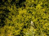 Female redstart bird close up. - 205255823