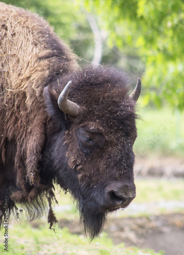 Plexiglas Bison Close portrait of a buffalo. (Bison bison) is a species of the Bovidae family.