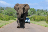 African elephant walking towards the viewer on a road in Kruger National Park, South Africa, with a car in the background