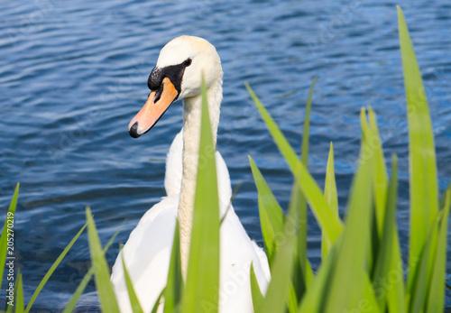 Plexiglas Zwaan A White Swan