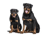 Rottweiler dogs sitting against white background