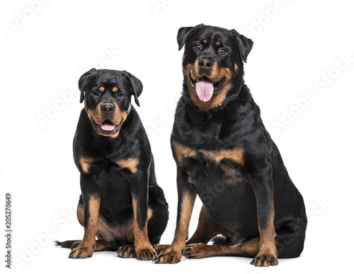 Fototapeta Rottweiler dogs sitting against white background
