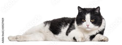 Fototapeta Mixed-breed cat lying against white background
